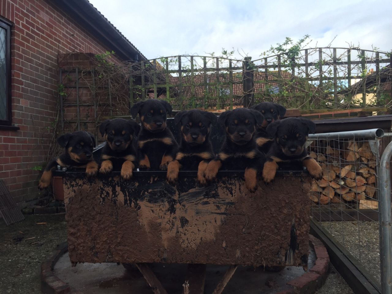 8 Gorgeous Chunky Rottweiler Puppies Ready Now.