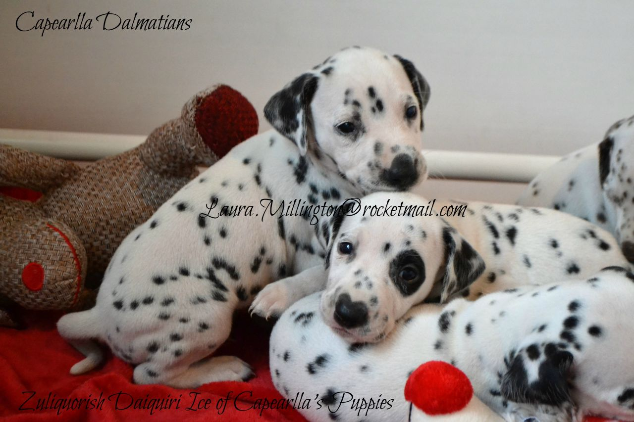 ** Capearlla Kennel Club Registered Dalmatian Puppies Have Arrived **
