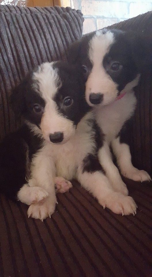 Border Collie Puppies Ready
