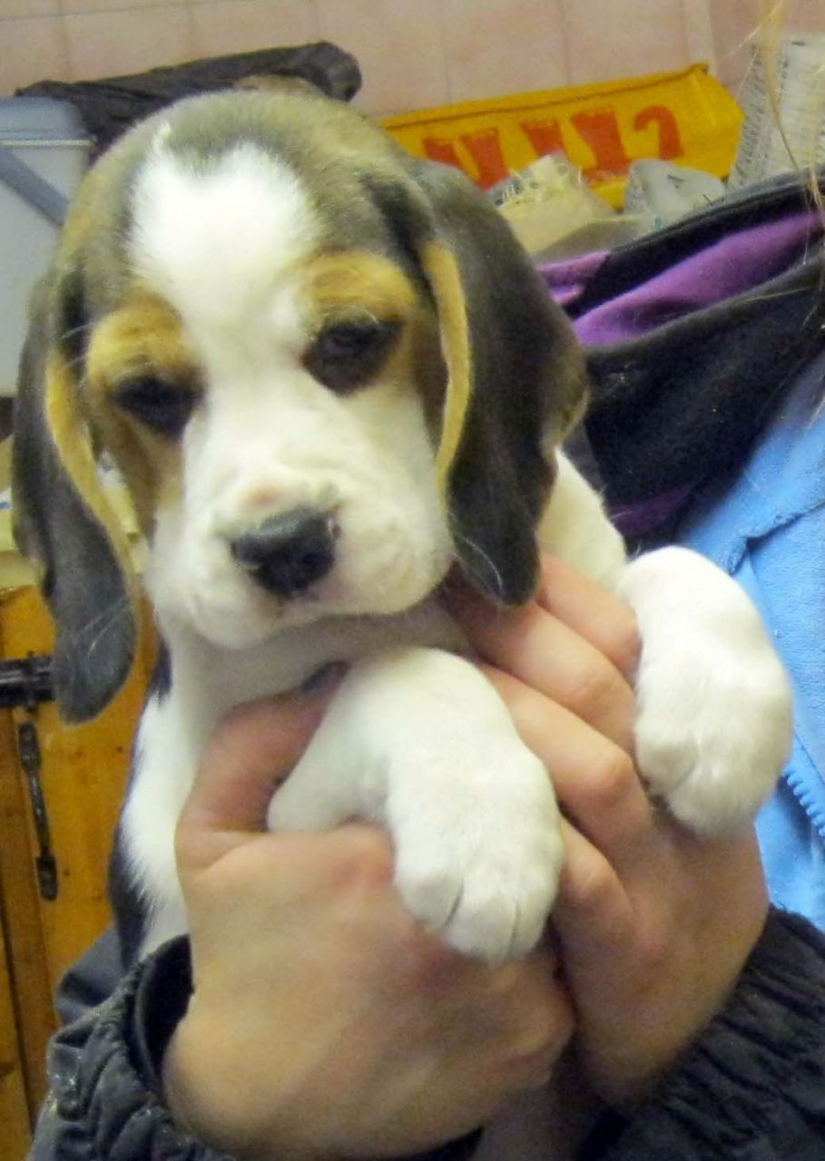 Beautiful Beagle Puppies Available