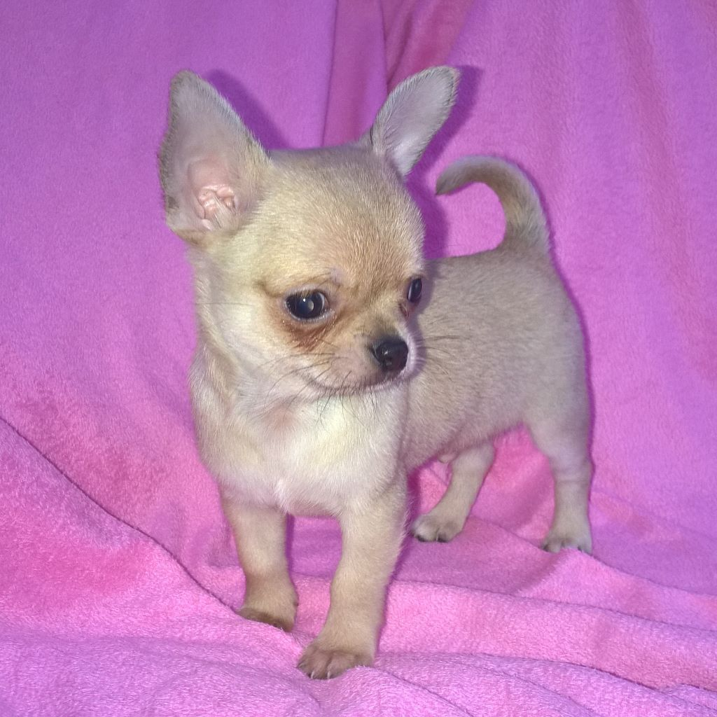 home raised chihuahua puppies