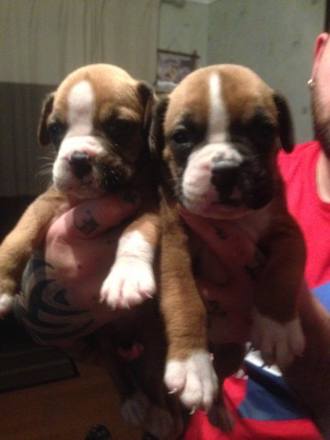 Boxer Pups Bobtails And Tails