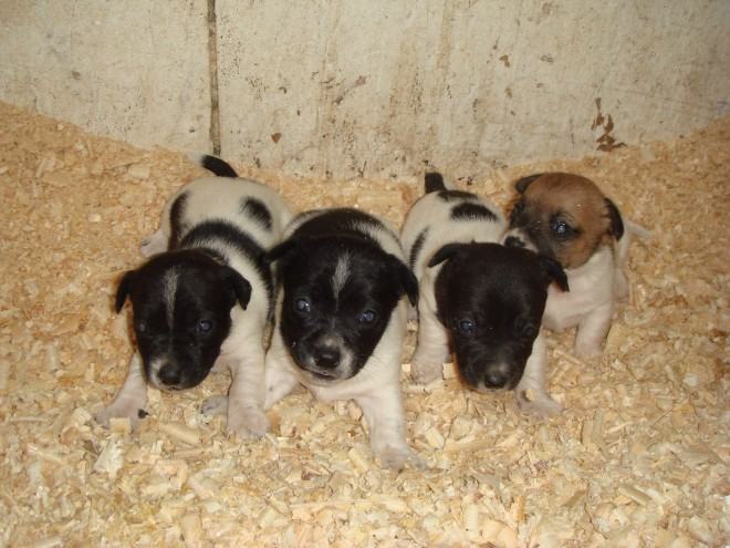 3 Tiny Beautiful Jack Russell Puppies
