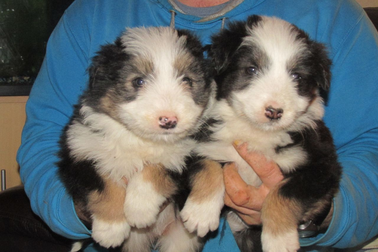 Stunning Bearded Collie Puppies Available