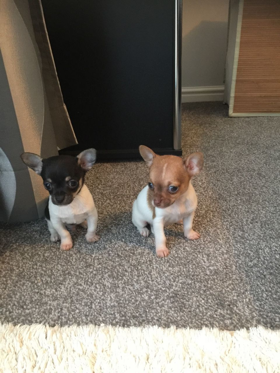 Chihuahua Teacup Puppies (smooth Coated)