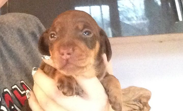 Gorgeous Dachshunds Puppies For Sale!