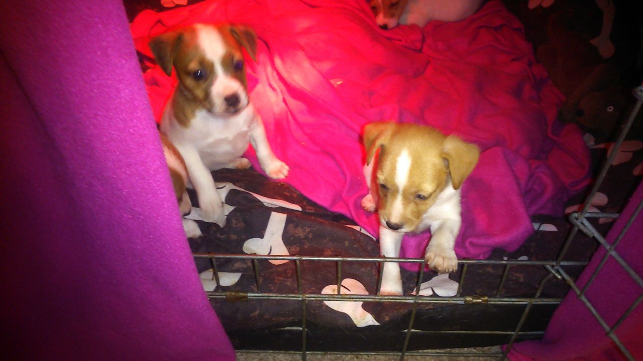 Beautiful Parsons Terrier Puppies