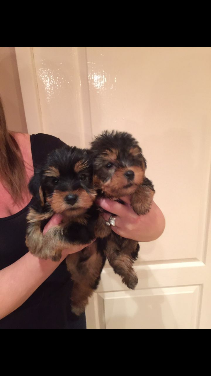 Yorkshire Terrier-miniture Puppies available