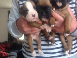 Boxer puppies boys and girls left