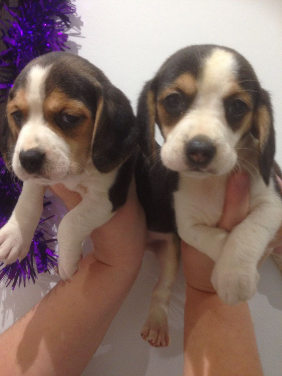 Cute Beagle Puppies For Sale This X Mass