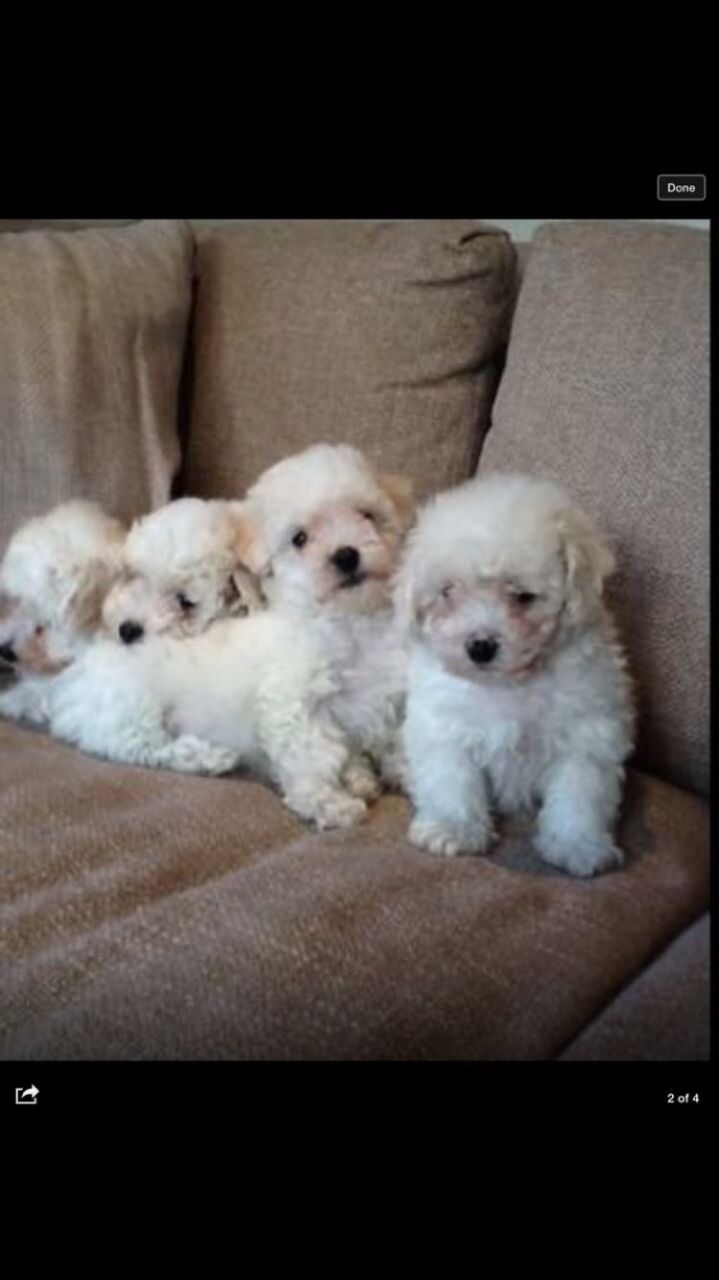Cute and Excellent Bichon Frise Puppies For Sale This X Mass