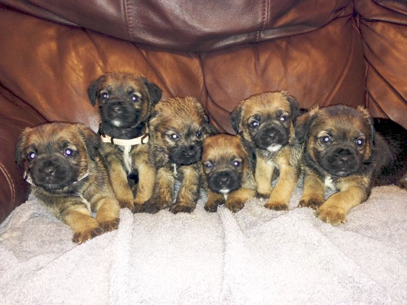 Border Terrier Puppies For Sale