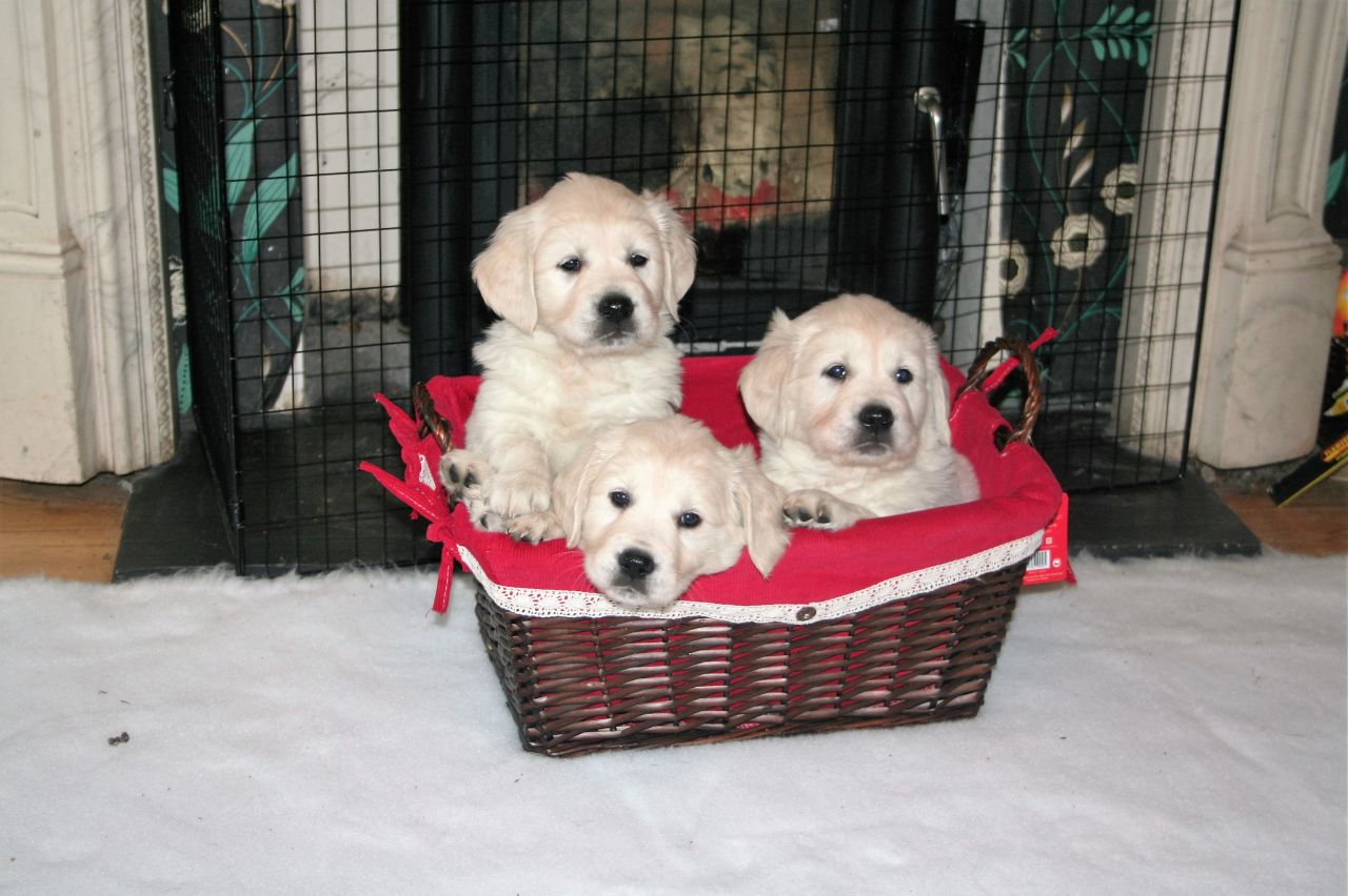 Golden Retriever Puppies Available for X Mass