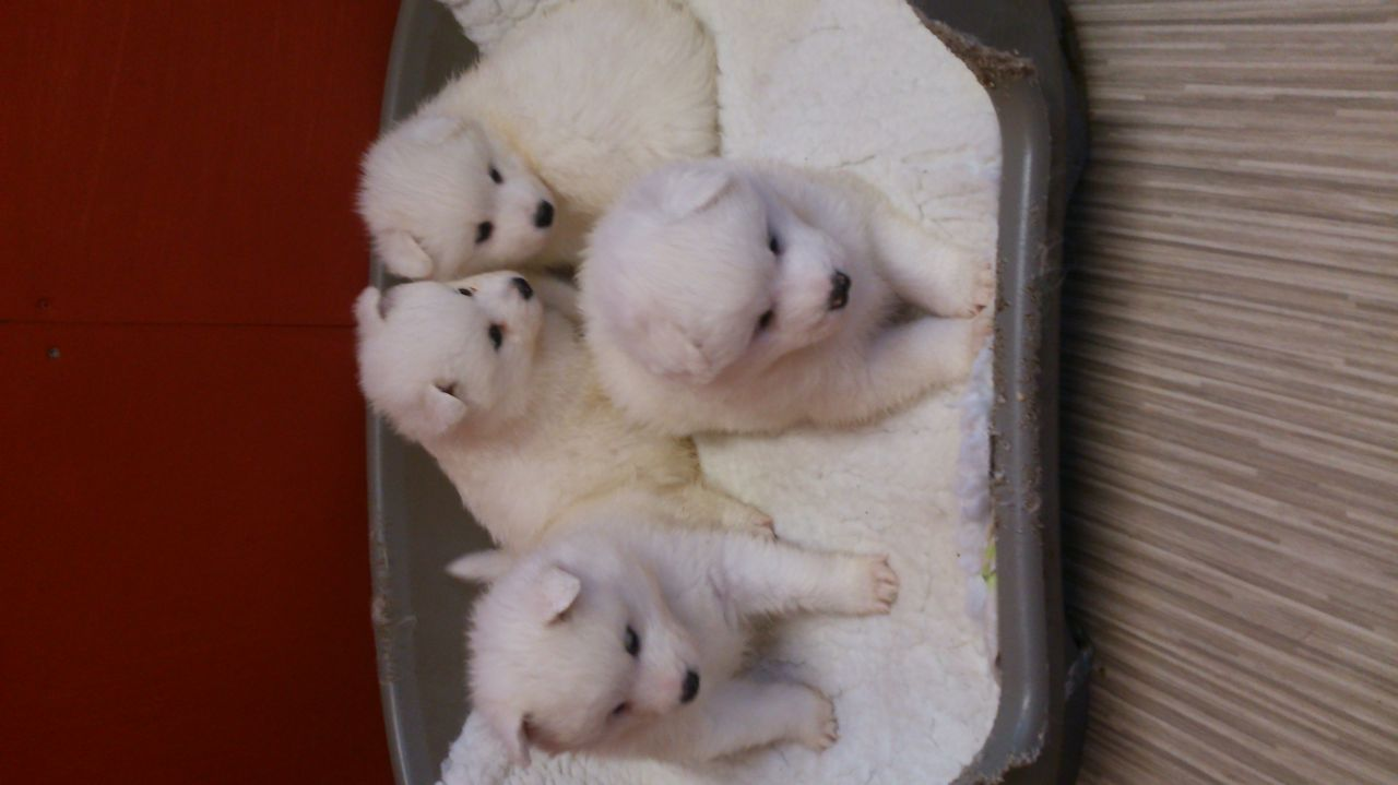 Top Quality Registered Samoyed Puppies