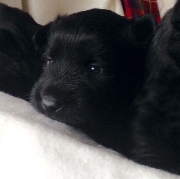 Black Scottish Terrier Puppies, The Real Mccoy!
