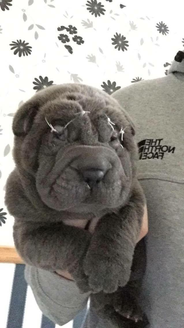 Adorable Sharpei Puppies For sale