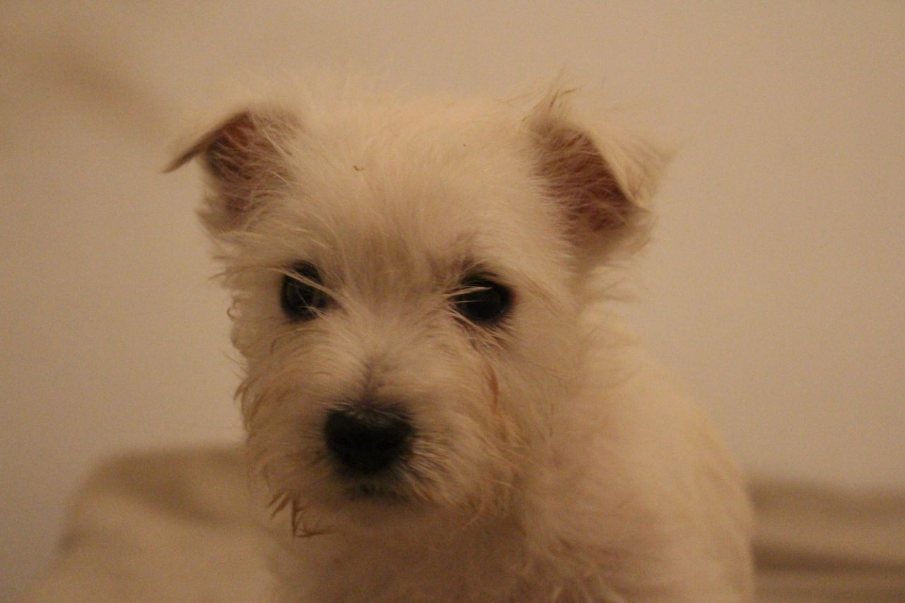 Cute West Highland White Terrier Pups For Sale