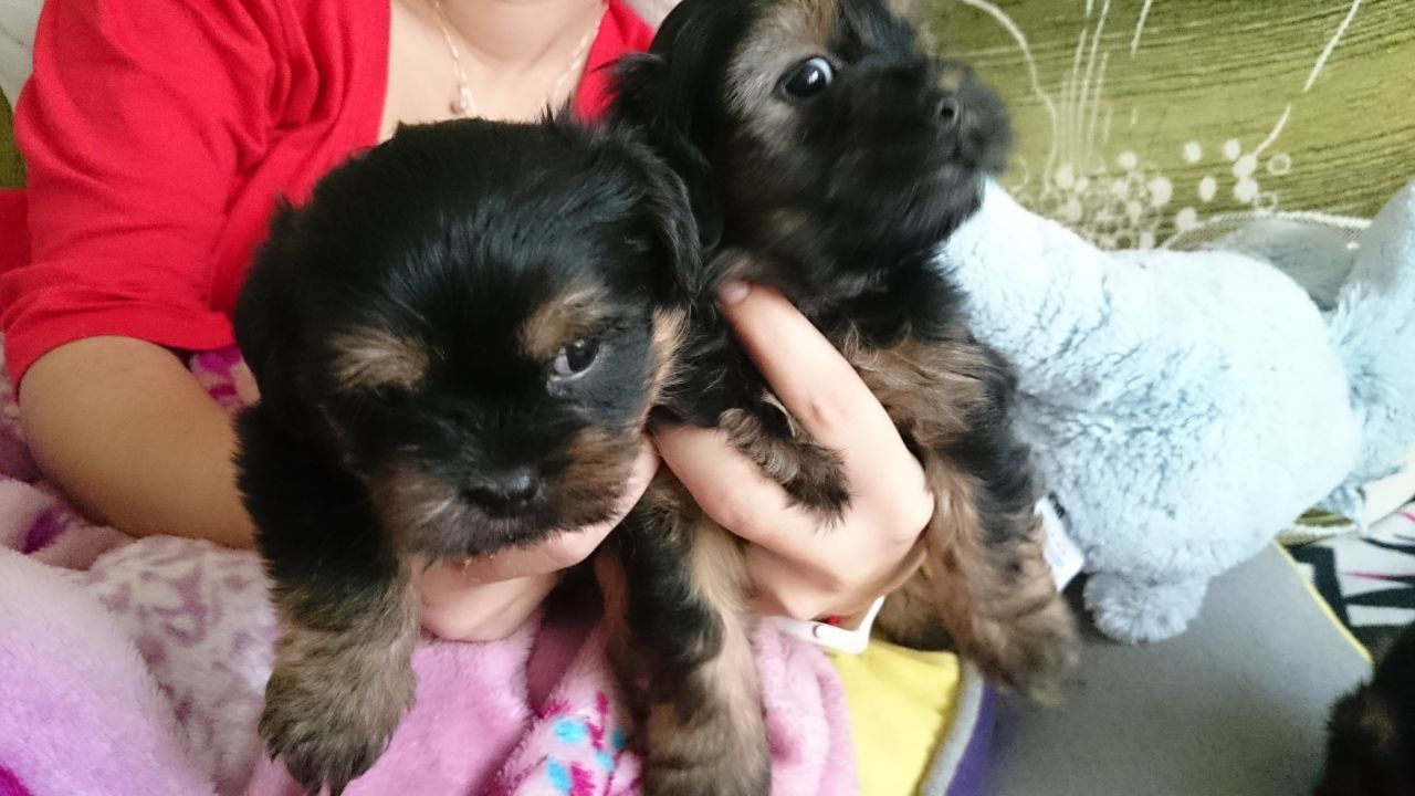 Cute and Adorable Yorkie Puppies  For Sale