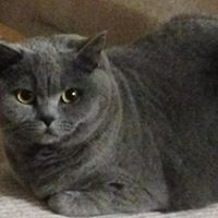 where buy British shorthair