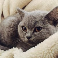 British shorthair official breeder register
