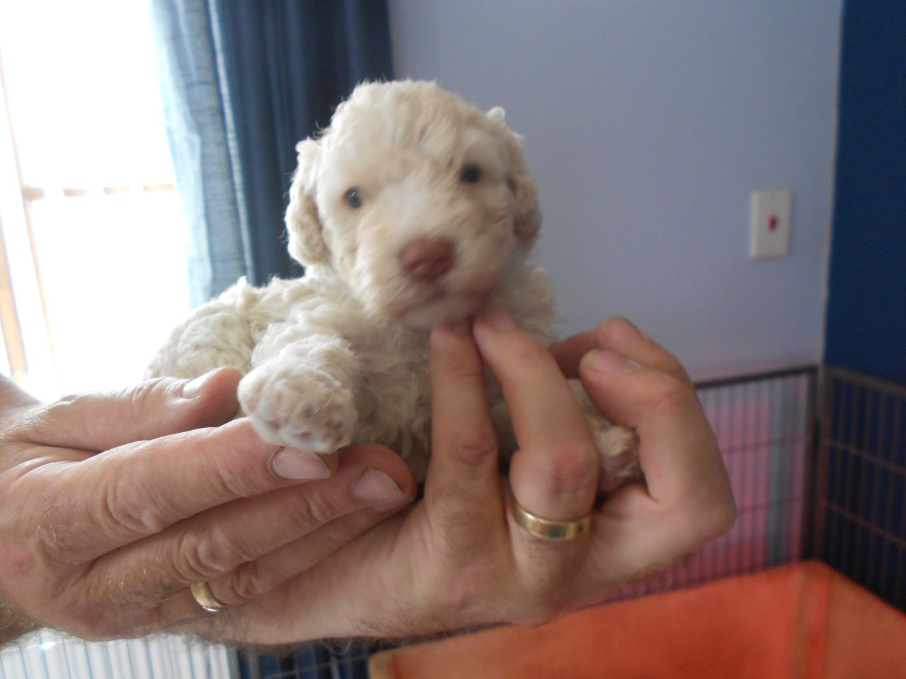 Spanish Water Dog Pups