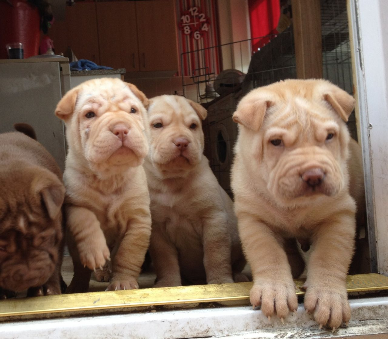 Shar Pei Pups 3 Males 1 Female Ready Now