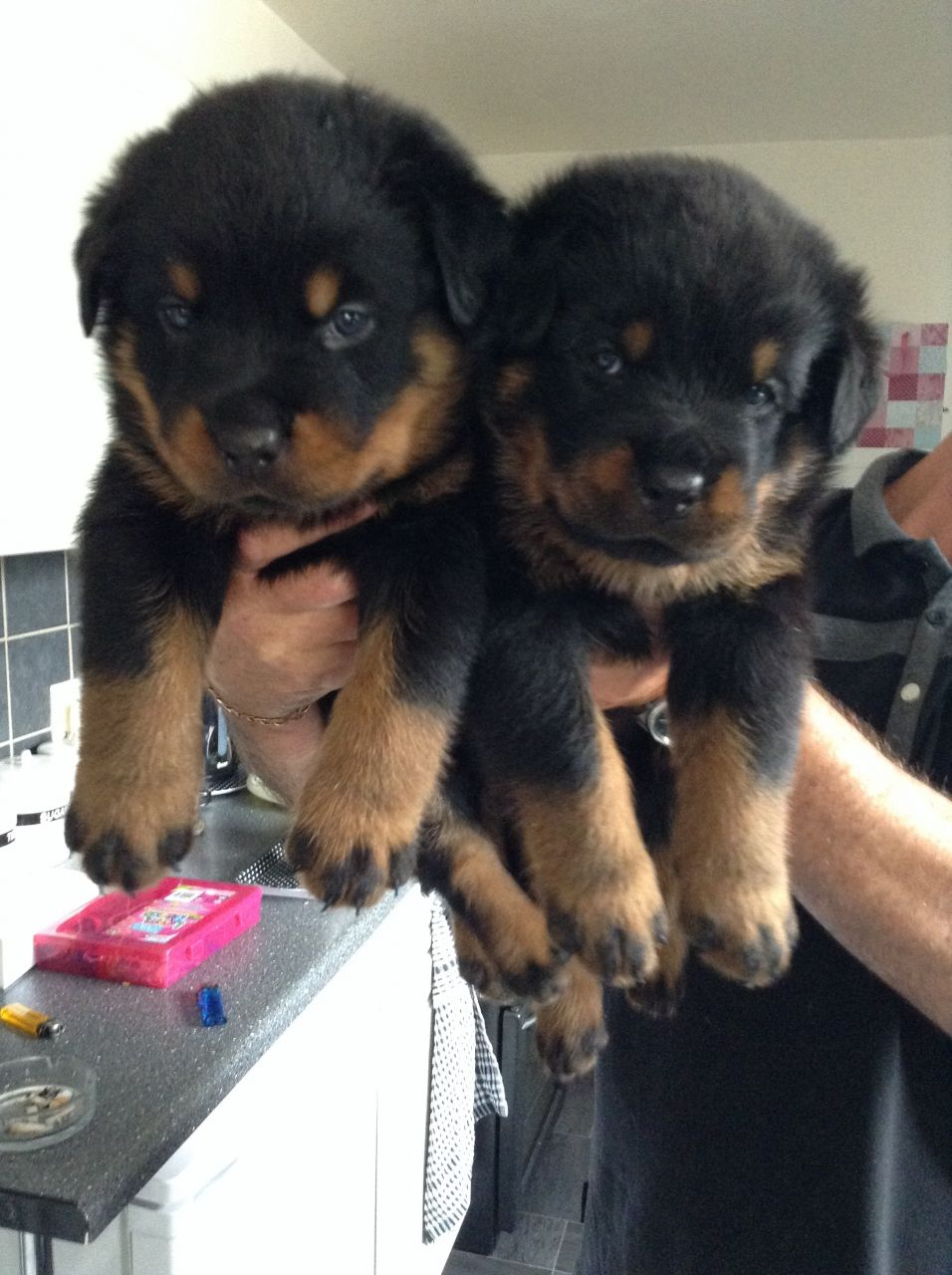 10 Beautiful Rottweiler Puppies For Sale