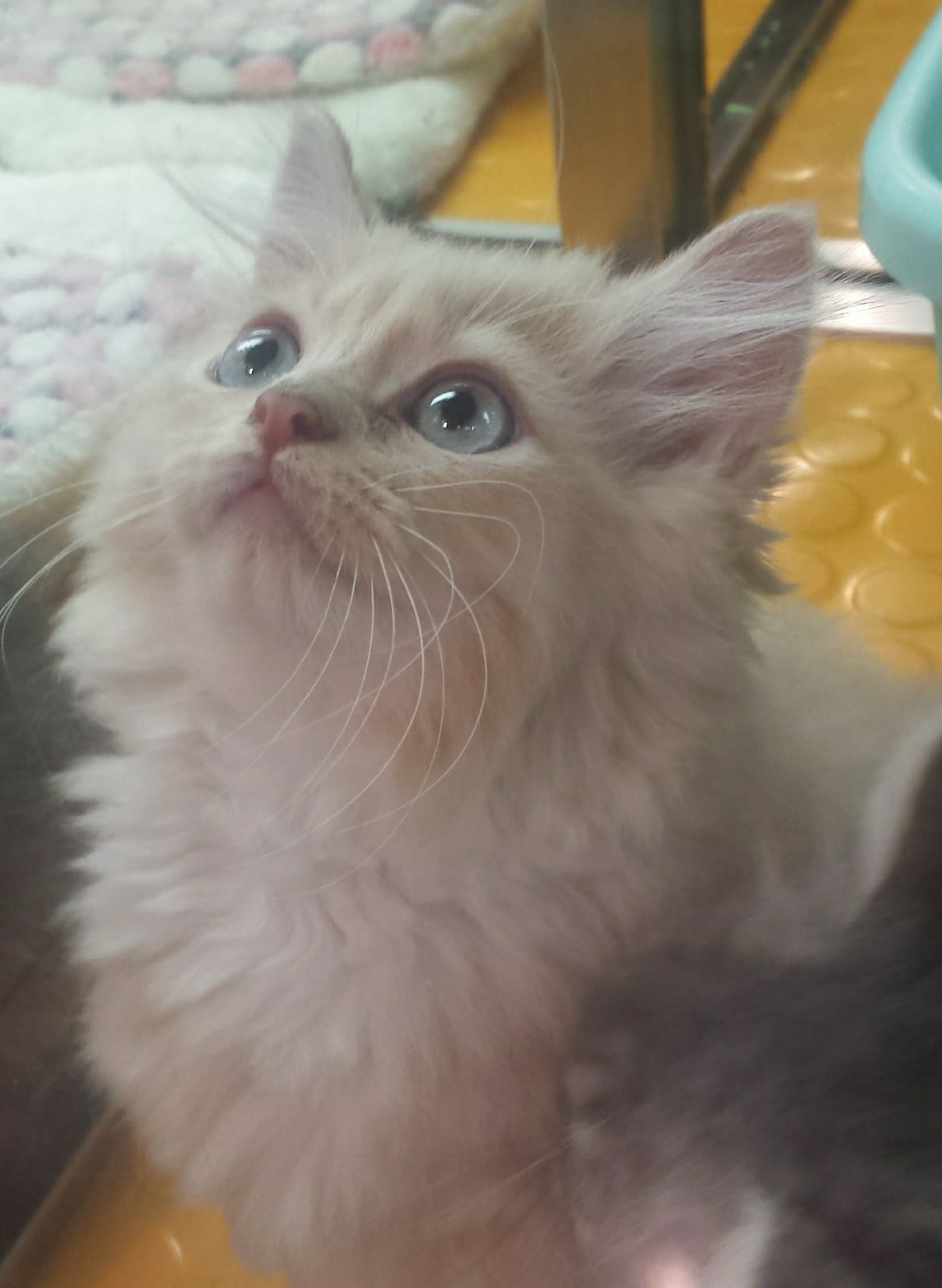 Norwegian Forest Kitten for Sale