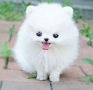 Pomeranian Puppy For