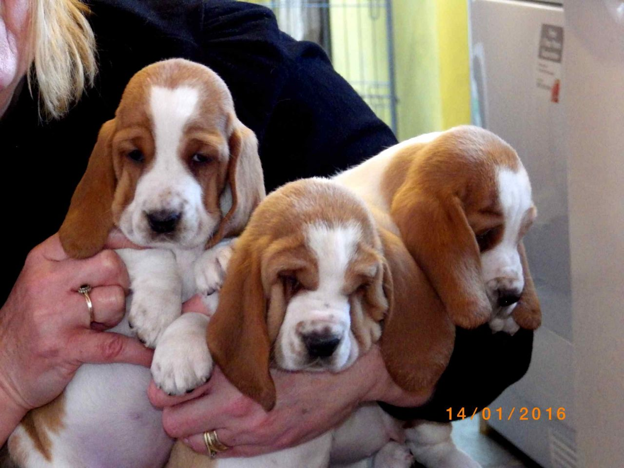 Beautiful Top Quality Basset Hound Puppies