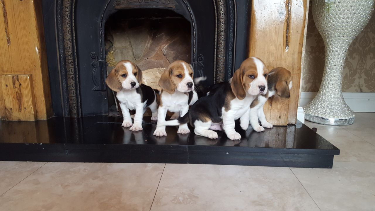 Pedigree Beagle Puppies Ready Now