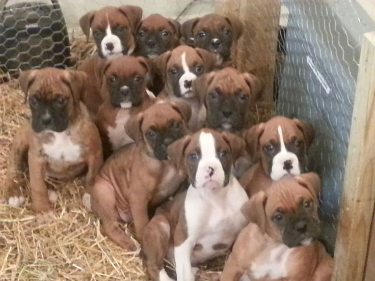 Beautiful Red & White Boxer Puppies