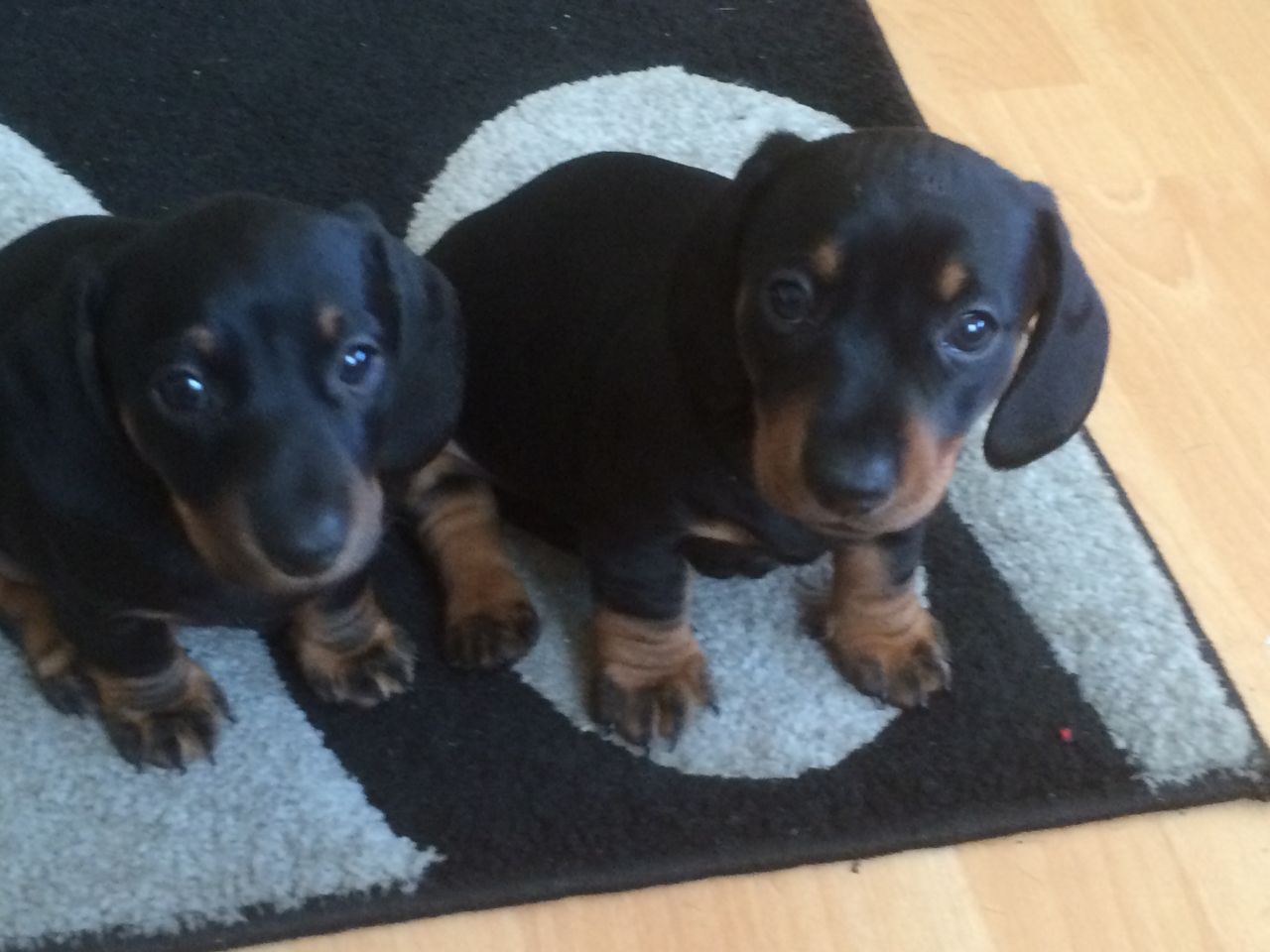 Adorable Short-haired Dachshund Puppies For Sale
