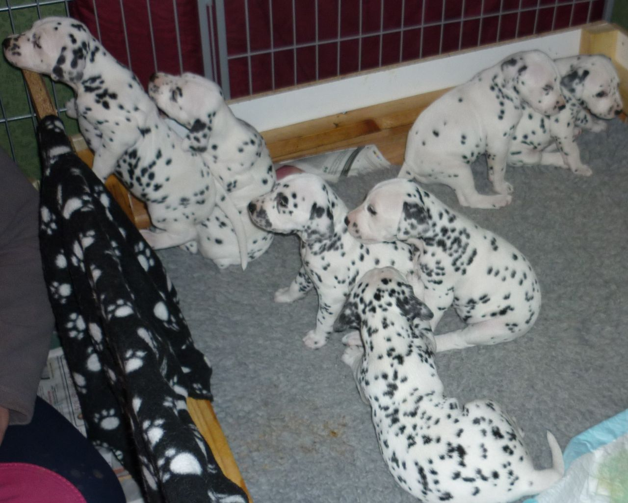 Kc Registered Dalmatian Puppies