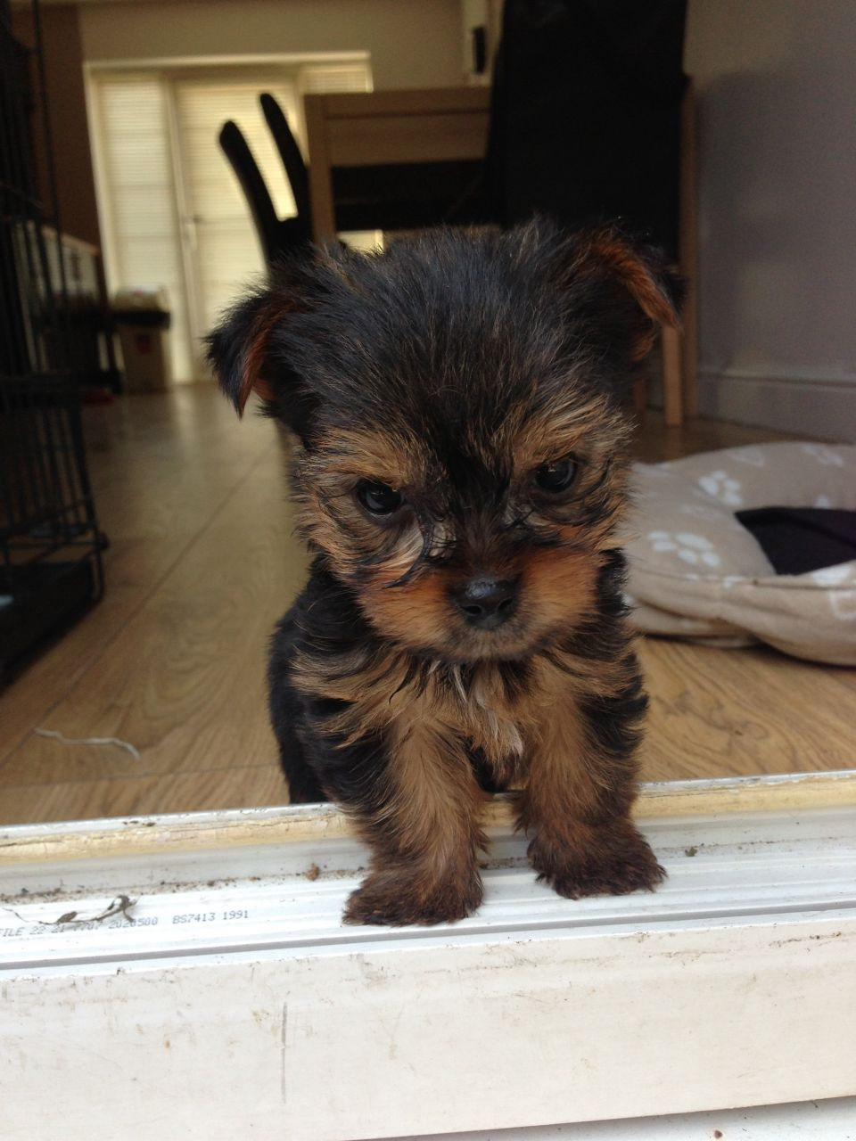 Yorkshire Terrier-miniture