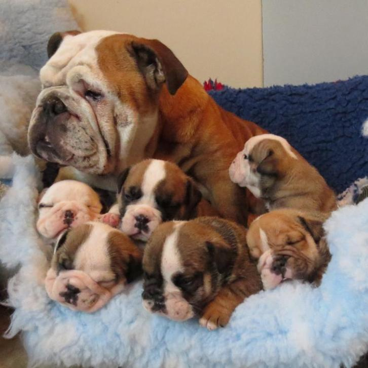 Precious male and female English bulldog puppies