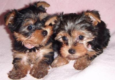``~Cute Yorkie Puppy For Adoption