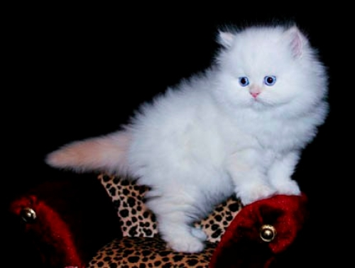 Full Pedigree Chinchilla Persian Kittens