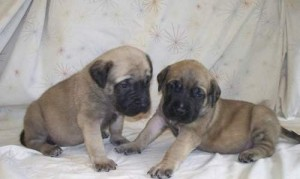 Gorgeous Bullmastiff Puppies