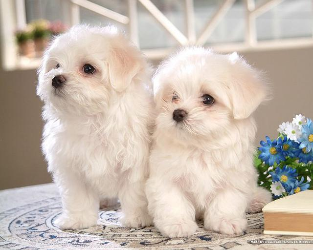 Exceptional AKC Maltese Puppies We have 2 exceptional AKC Maltese puppies available.