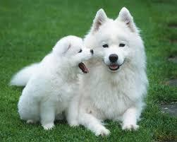 Registered male and female Samoyed puppies for rehoming , they are microchipped, vaccinated with first lot of inje