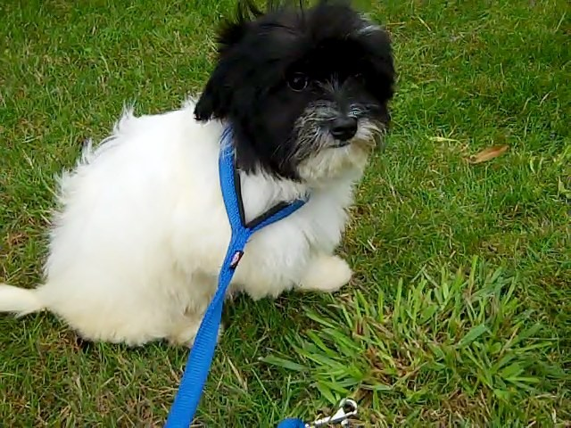2 havanese Puppies Puppies for Sale