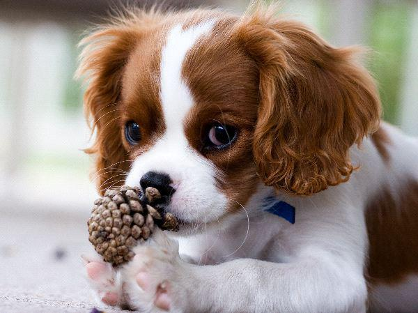 cute and adorable cavalier,king Charles puppies for sale