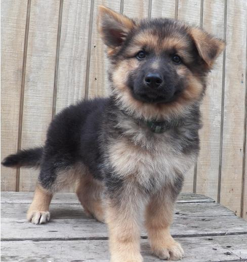 We have available a stunning German Shepard Puppies as a pet.
