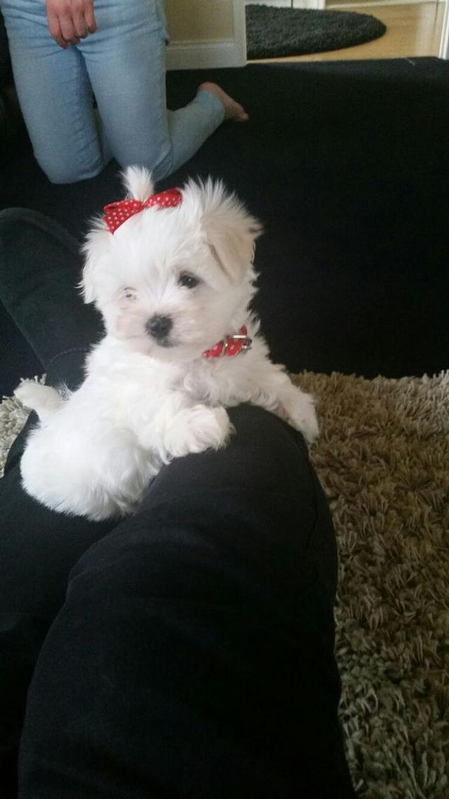 Adorable Kc Registered Maltese Puppies