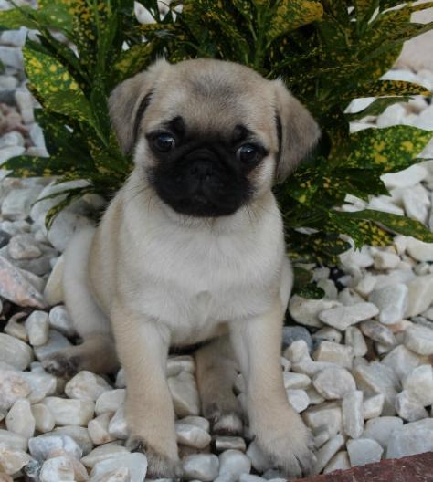 Pug puppy available