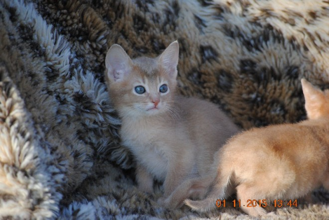 Home raised Abyssinian kittens