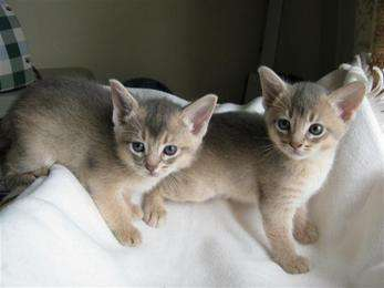 Arabian Mau  Kittens Available
