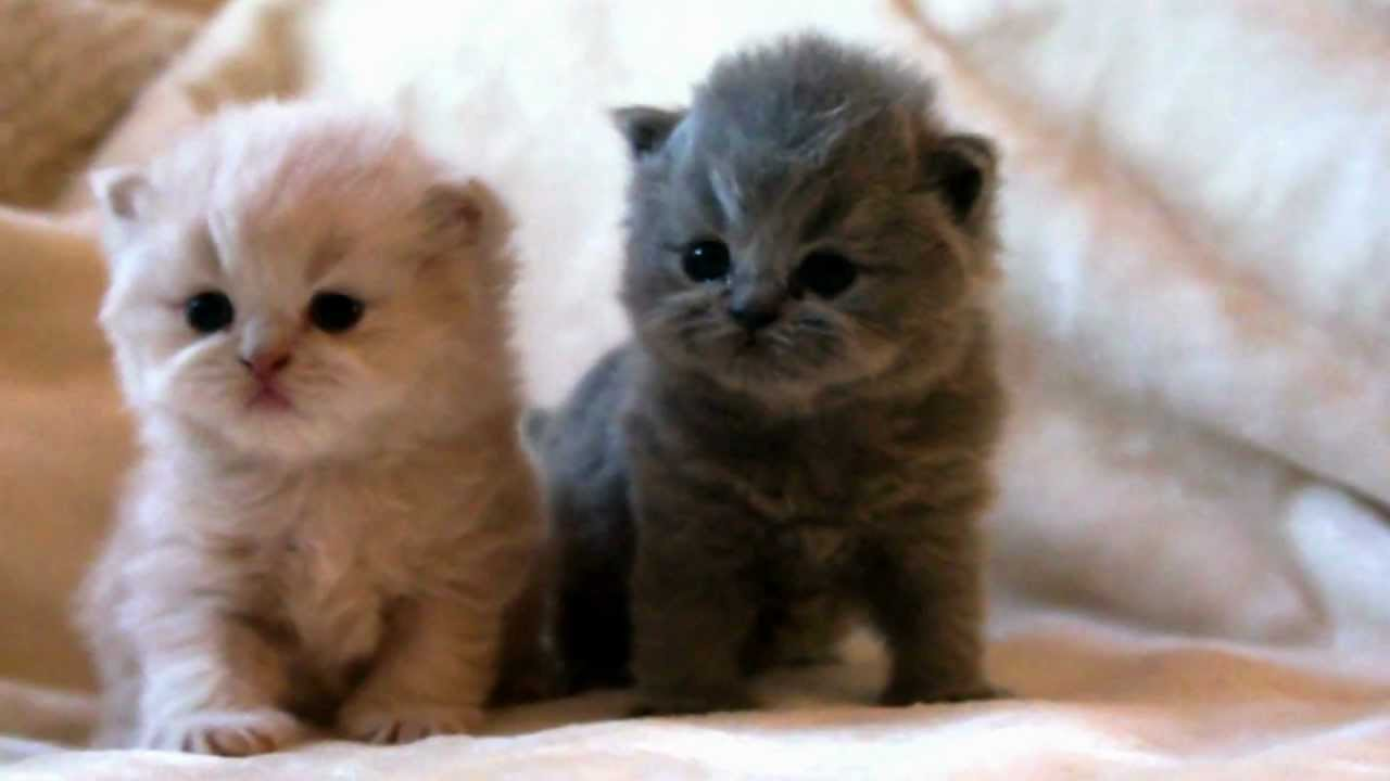 BRITISH LONG HAIR KITTENS