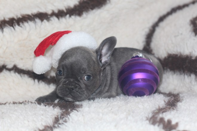 male and female french bull dog for xmas